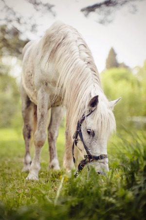 White horse with a long mane grazing on the pasture