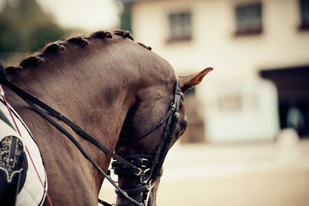 Neck brown sports stallion in the double bridle. Dressage of horses in the arena. Equestrian sport.