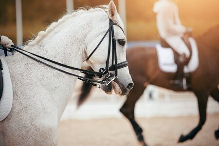 Equestrian sport. Portrait sports gray stallion in the double bridle. Dressage horse.