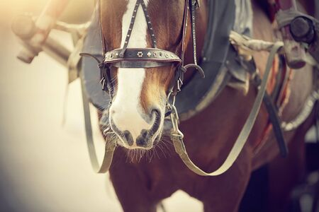 The muzzle is brown draught horse harnessed to a carriage