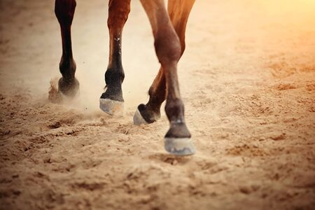 Dust under the horse's hooves. Legs of a galloping horse.