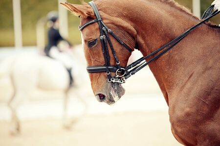 Equestrian sport. Portrait sports red stallion in the double bridle. Dressage of horses in the arena.