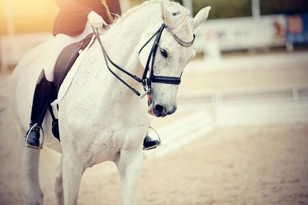 Equestrian sport. Portrait sports gray stallion in the double bridle. Dressage of horse in the arena.
