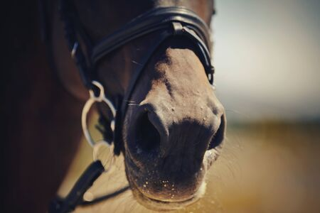 Nose sports brown horse in the bridle. Dressage horse. Equestrian sport. 免版税图像