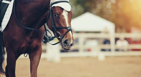 Portrait sports red stallion in the bridle. Dressage of horses. Equestrian sport.
