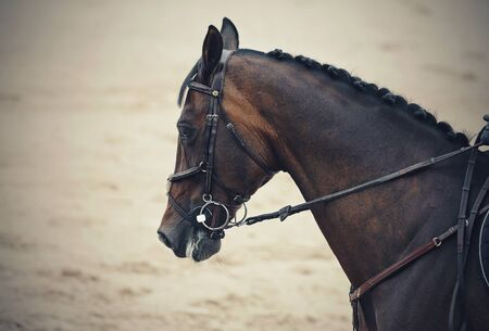 Portrait sports brown stallion in the bridle. Dressage of horses. Equestrian sport.