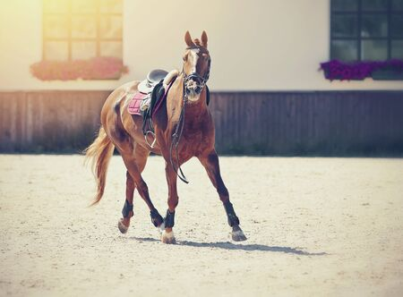 Equestrian sport. Sporting a red horse in the arena at a trot runs. Dressage of horses