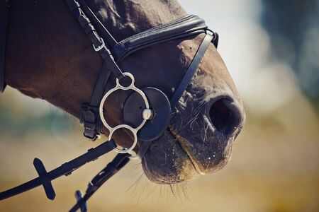 Nose sports brown horse in the bridle. Dressage horse. Equestrian sport.