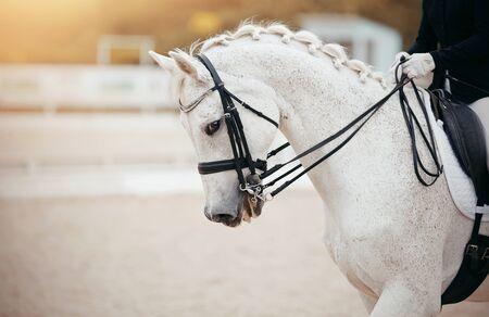 Pferdesport. Portrait trägt grauen Hengst im Zaumzeug. Dressurpferde in der Arena.