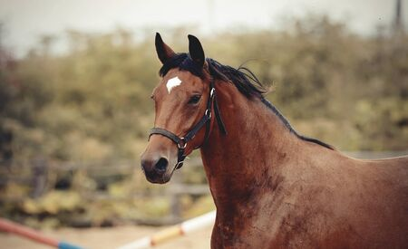 Portrait of a young sports bay horse with an asterisk on his forehead