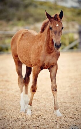 Red foal with an asterisk on his forehead in the levada. 免版税图像