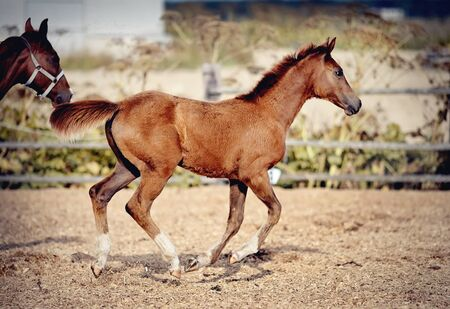 Red foal with an asterisk on his forehead run in the levada. 免版税图像