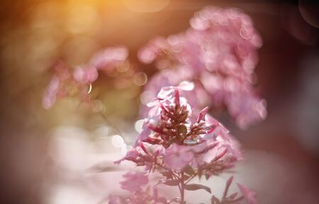 Blurred summer background with blooming Phlox in the evening sun. Archivio Fotografico - 131057767