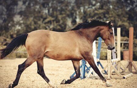 Sports young horse of dun color runs trot in the arena Archivio Fotografico - 131057773