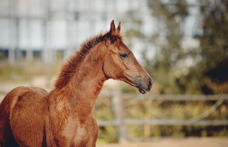 Retrato de una raza deportiva de potro rojo en la levada. Pequeño caballo.