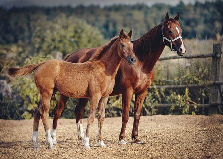 Rotes Fohlen mit einem Sternchen auf der Stirn mit einer roten Stute, die in die Koppel geht. Kleines Pferd.