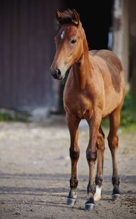 Red foal sporting breed with an asterisk on his forehead against the entrance to the stable. Small horse.