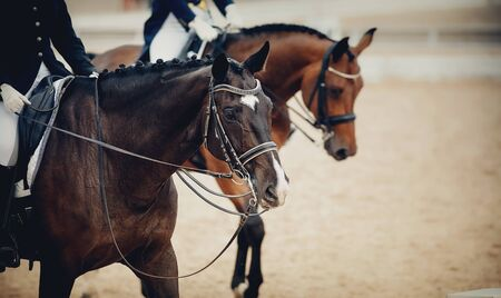 Equestrian sport. Portrait sports brown stallion in the double bridle. Dressage of horses in the arena. 免版税图像
