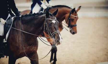 Pferdesport. Portrait trägt braunen Hengst im Kandarenzaum. Dressurpferde in der Arena.