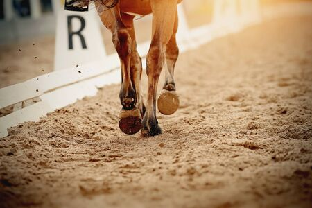 Dust under the horses hooves. Legs of a sports horse galloping in the arena. Stok Fotoğraf