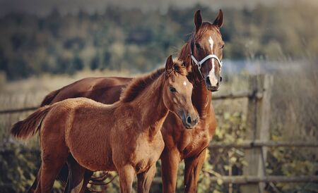 Red foal with an asterisk on his forehead with a red mare walking in the paddock. 免版税图像