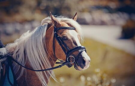 Equestrian sport. Portrait sports red stallion in the bridle. Dressage of horses