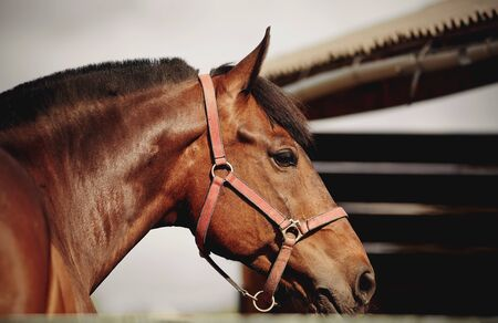 Portrait of a young sports horse of bay color in a halter.