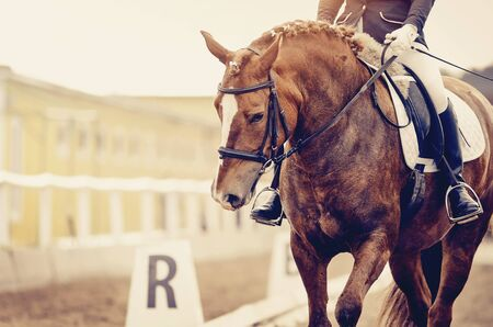 Equestrian sport. Portrait sports red horse with a white groove on his forehead in the bridle. Dressage of horses in the arena.