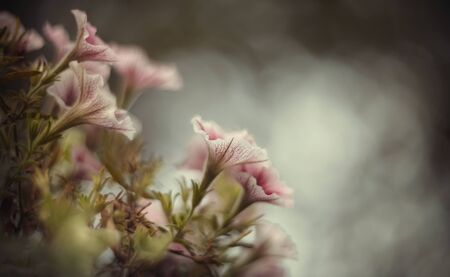 Blurred summer background with blooming pink Petunia Archivio Fotografico - 131057827