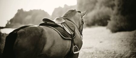 Saddle with stirrups on a back of a stallion. The back of a saddled red horse. Equestrian sport. Dressage horse.