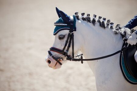 Portrait of a gray pony in the bridle. Equestrian sport. Dressage of horse in the arena.