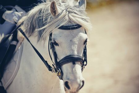 Portrait of a gray pony in the bridle. Equestrian sport. Dressage of horse in the arena. Archivio Fotografico - 131058002