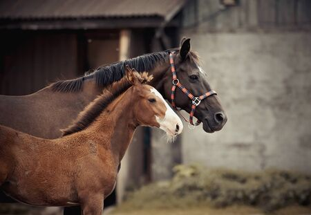 Portrait of a red foal and a brown mare with a white star on his forehead against the entrance to the stable.