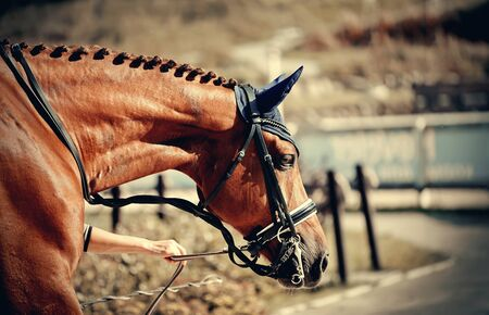 Equestrian sport. Portrait sports red stallion in the double bridle. Dressage of horses Archivio Fotografico - 131058013