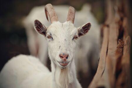 Portrait of a white goat in the barnyard Archivio Fotografico - 131058104