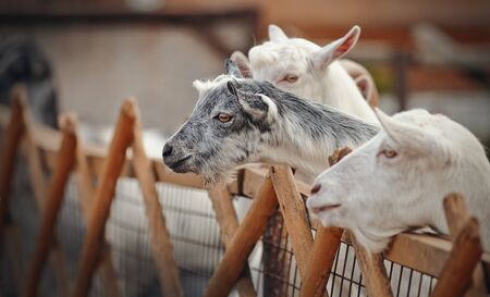 Portrait of white and gray goats behind the fence. Archivio Fotografico - 131058105