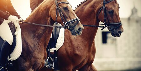 Equestrian sport. Portraits of two sports horses red color in the bridle. Dressage of horses in the arena.