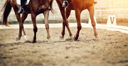 Dust under the hooves of a horses. Legs of two sports horses galloping around the arena. Archivio Fotografico - 131058110