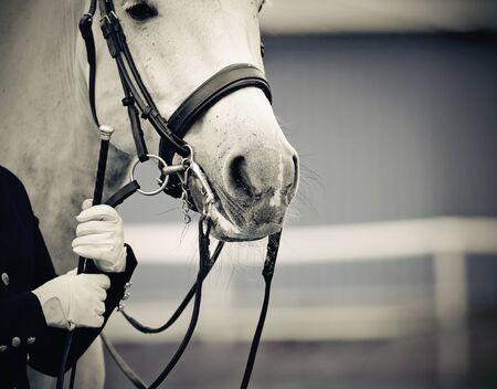 Portrait sports gray stallion in the bridle. Dressage of horses. Equestrian sport. Archivio Fotografico - 131058111