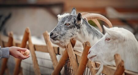 Portrait of white and gray goats behind the fence. Archivio Fotografico - 131058116