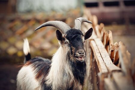 Portrait of a goat of multicolored colour behind a fence in a cattle yard. Archivio Fotografico - 131058245