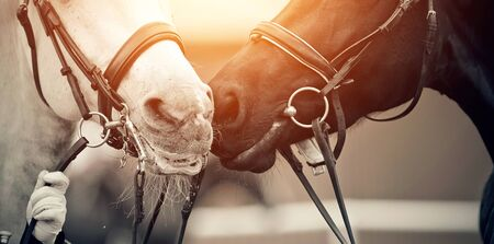 Muzzles two sports horses, black and a white, in bridles. Dressage of horses. Equestrian sport. Stok Fotoğraf