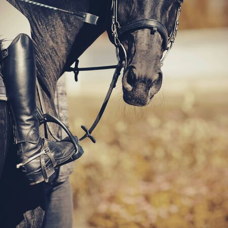 Equestrian sport. The muzzle is sports black stallion in the bridle.The leg of the rider in the stirrup, riding on a black horse. Spurs on black boots. Dressage of horses in the arena.