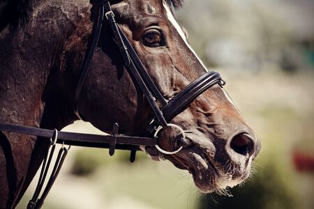 The muzzle is sports brown stallion in the bridle. Dressage horse. Equestrian sport.