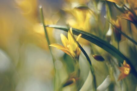 Abstract defocused background with spring flower Gagea lutea or Yellow Star-of-Bethlehem  Stock Photo