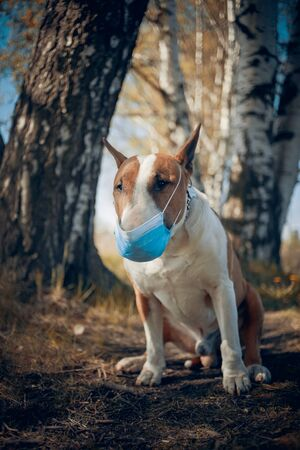 Red dog breed bulterrier in medical mask on its muzzle.