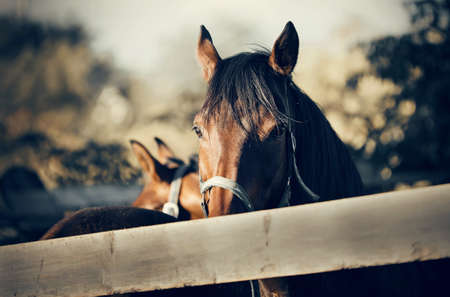 Sports horse of bay color in a halter in the levada. Portrait of a young sports horse. Horse muzzle close up