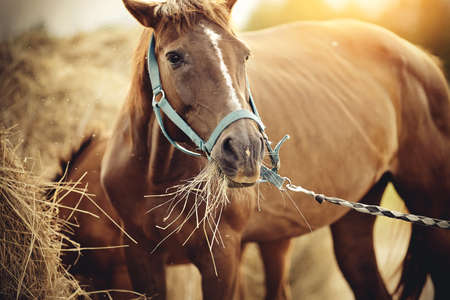 Red mare with a white groove on his forehead in a halter eating hay.