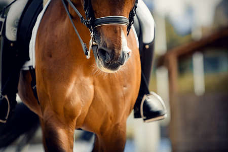 Nose sports brown horse in the double bridle. Dressage horse. Equestrian sport.