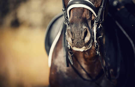 Nose sports brown horse in the bridle. Portrait stallion in the double bridle. Horse muzzle close up. Dressage horse. Equestrian sport. 免版税图像